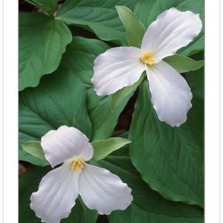 F00161: Large-flowered trillium (Trillium grandiflorum), North Carolina, Spring
