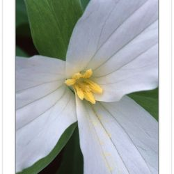 F00162:  Large-flowered Trillium close-up (Trillium Grandiflorum