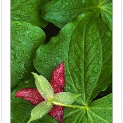 F00166: Purple Wakerobin (Trillium erectum) nodding under morning dew, Pisgah Natl Forest, NC, Spring, USA