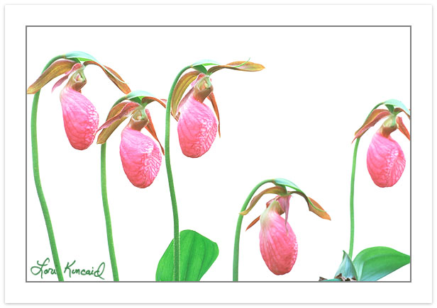 F00243:  Grouping of Pink Lady's Slipper (Cypripedium acaule) ag