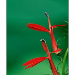 F00339:  Cardinal Flower (Lobelia Cardinalis) Close-up illustrating similarity of individual flowers to bird in flight.