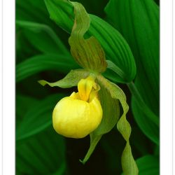 F00368:  Yellow Lady's Slipper (Cypripedium calceolus), Orchid F