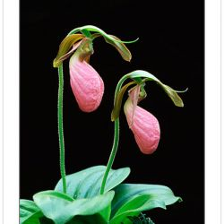 F00371: Pink Lady's Slipper (Cypripedium acaule), Orchid Family, Pisgah National Forest, North Carolina, Spring