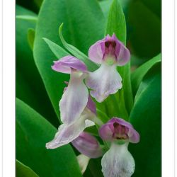 FD0101:  Showy Orchis (Orchis spectabilis), Great Smoky Mountain