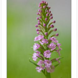 FD0102: Purple Fringed orchid, (Platanthera [Habenaria] species)