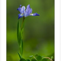 FD0150: Dwarf Crested Iris (Iris cristata),Pisgah National Fores