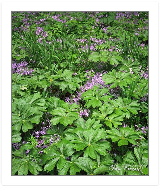SL0311: Mayapple and Phlox, White Oak Sinks, Great Smoky Mountai