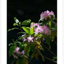 FD0236: Piedmont Rhododendron (Rhododendron minus) along Jack's