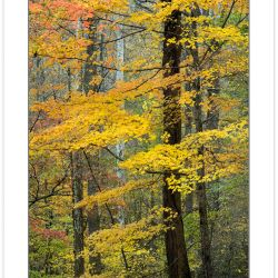 AD0246: Maple in fall foliage, Great Smoky Mouuntains National P