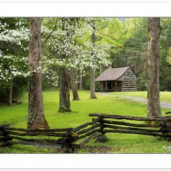 RD0162: Flowering Dogwood at Carter Shields Cabin, Cades Cove,,