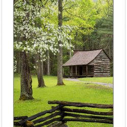 RD0163: Flowering Dogwood at Carter Shields Cabin, Cades Cove,,