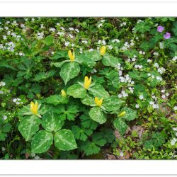 SD0446: Yellow Trillium, White Fringed Phacelia, and Wild Gerani
