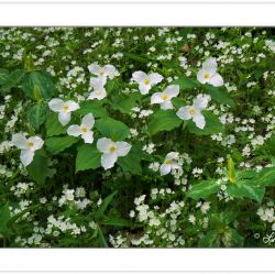 Large-flowered Trillium and White Fringed Phacelia, Great Smoky