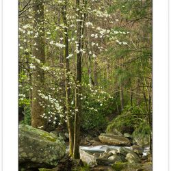 SD0451: Flowering Dogwood, Great Smoky Mountains National Park,