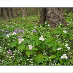 SD0457: Large-flowered Trillium, Phlox and White Fringed Phaceli