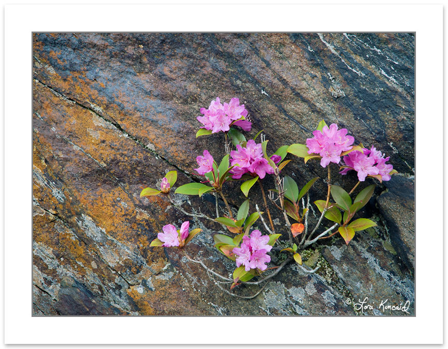 Rhododendron minus blooming on Charlie's Bunion, Great Smoky Mou
