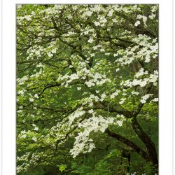 SD0900: Flowering Dogwood, Cades Cove, Great Smoky Mountains Nat
