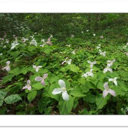 SD0975: Large-flowered trillium blooming along the Little River