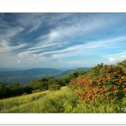 SD1017: Flame azalea on Gregory Bald with Cades Cove in the dist