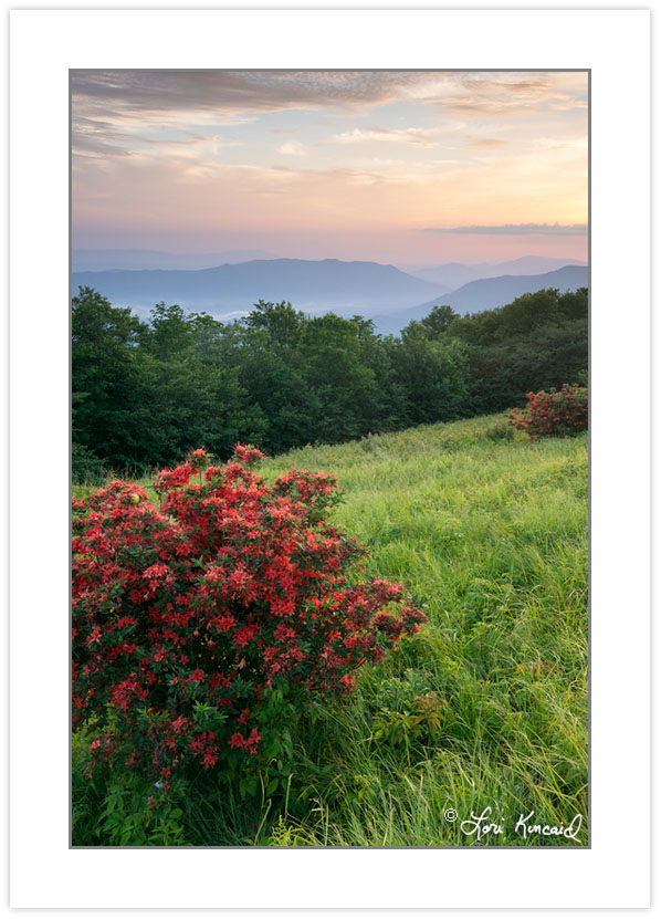 SD1057: Flame azalea on Gregory Bald with Cades Cove in the dist