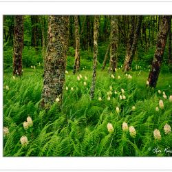 SL0210: Birch forest with Fly Poison (Amianthium muscaetoxicum)