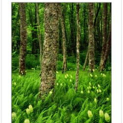SL0211: Fly Poison (Amianthium muscaetoxicum) & Ferns in Birch F