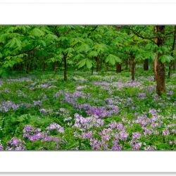 SL0323: Phlox blooming in White Oak Sinks, Great Smoky Mountains