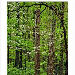 SL0337: Flowering Dogwood (Cornus florida) in hardwood forest, G