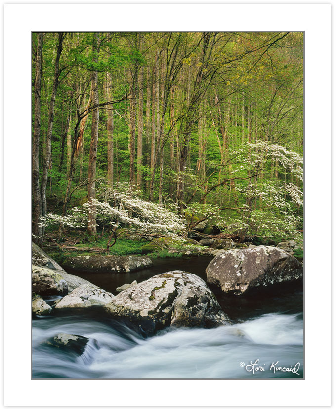 Dogwoods on Middle Prong of the Little River, Great Smoky Mounta