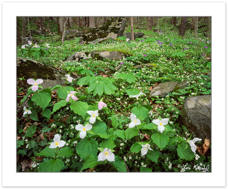 Large-flowered Trillium (Trillium grandiflorum), Great Smoky Mou