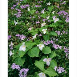 Large-flowered Trillium (Trillium grandiflorum) and Phlox, Great