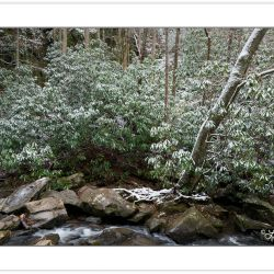 Snow-covered rhododendron along Spruce Flat Branch, Great Smoky