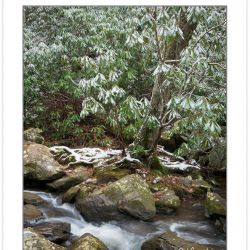 WD0370: Snow-covered rhododendron along Spruce Flat Branch, Grea