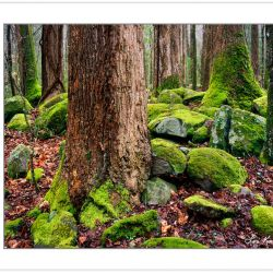 WL0150: Old growth Tulip Poplars, Great Smoky Mountains National