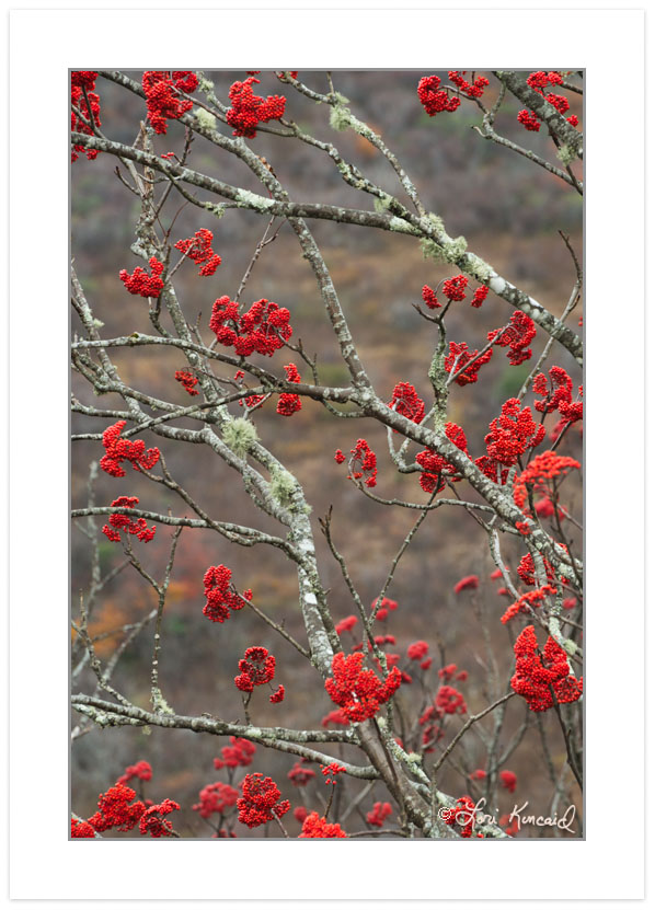 Mountain Ash berries, Blue Ridge Parkway, NC, Autumn
