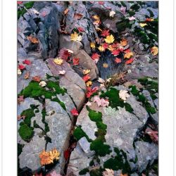 AL0118: Colorful Maple leaves on rock outcrop along Laurel River