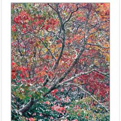 AL0120: Sourwood (Oxydendrum arboreum) and autumn foliage draped