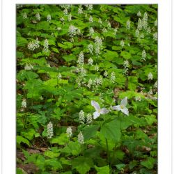 FD0124: Spring wildflowers, including Large-flowered Trillium (T