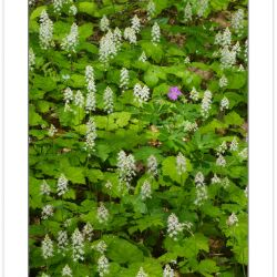 FD0146: Spring wildflowers including Foamflower (Tiarella cordif