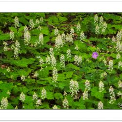 FD0147: Spring wildflowers including Foamflower (Tiarella cordif