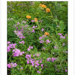 Turk's Cap Lilies and Phlox blooming on Bob Stratton Bald, Joyce