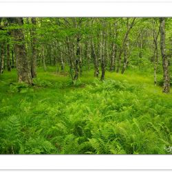 SD0130: Endangered Beech Gap forest with grasses and ferns in th
