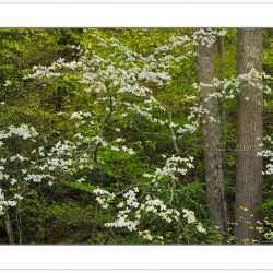 SD0275: Flowering Dogwood (Cornus florida), Pisgah National Fore