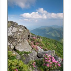 SD0368: Catawba Rhododendron on the Roan Mountain massif, Roan H