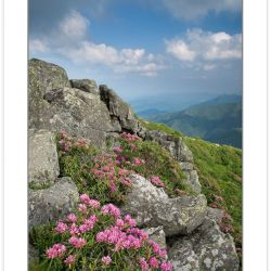 SD0370: Catawba Rhododendron on the Roan Mountain massif, Roan H