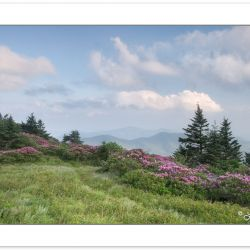 SD0375: Catawba Rhododendron on Grassy Ridge of the Roan Mountai