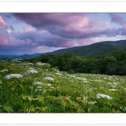 WD0662: Meadow full of Cow Parsnip at the Overmountain Victory T