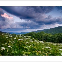 WD0664: Meadow full of Cow Parsnip at the Overmountain Victory T