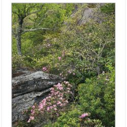 Carolina Rhododendron blooming at Little Lost Cove Cliffs, Harpe