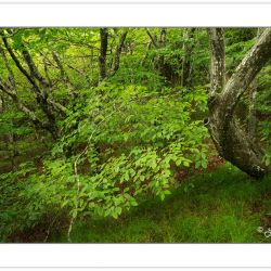 SD0833: Northern Hardwood Forest, Joyce Kilmer-Slickrock Wildern